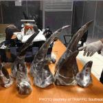 Singapore and Thailand Customs Each Seize 22kg Rhino Horn