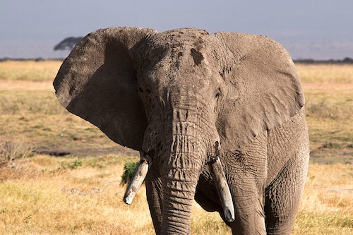 """Who's next? Chad and Tanzania are the latest countries to say """"yes"""" to elephants and """"no"""" to ivory. Photo By rcrhee via Wikimedia Commons"""