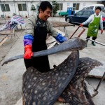 Investigators Follow China's Shark Slaughterhouse Trail to U.S.