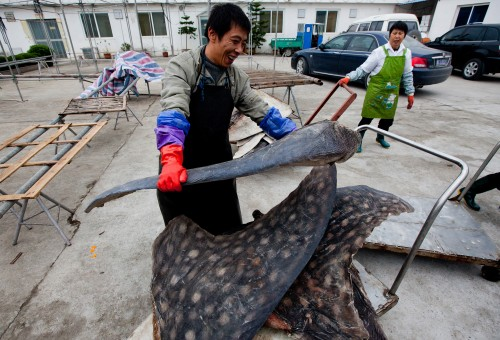 Investigators who uncovered China's massive shark slaughterhouse reveal possible links to a U.S. company. PHOTO: WildLifeRisk