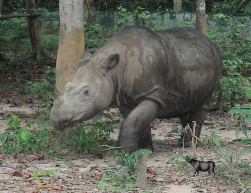 Ratu, a female Sumatran rhino who resides at the Sumatran Rhino Sanctuary in Indonesia. PHOTO: Rhishja Cota-Larson / Annamiticus