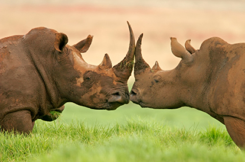 """""""Unsound analysis based on sweeping assumptions is likely to result in poor decision-making with severe consequences for rhino and elephant populations."""" Photo: istockphoto.com"""