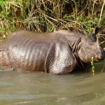 Nepal: First Rhino Killed in 15 Months