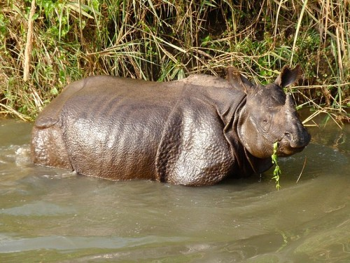 Following more than a year of zero poaching, Nepal loses a rhino. Photo by John Pavelka via Wikimedia Commons