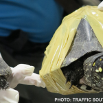 Thai Authorities Confiscate 225 Rare Turtles at Airport