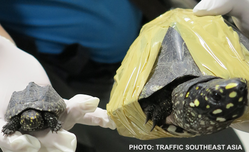 225 rare black pond turtles -- including babies -- were seized at Suvarnabhumi Airport in Bangkok. Photo from a November 2013 seizure of the same species, at the same airport. PHOTO: TRAFFIC Southeast Asia