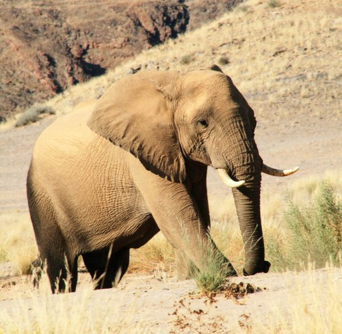 Namibia's rare desert elephant population will be hunted in the months leading up to the November election. Photo: Vernon Swanepoel