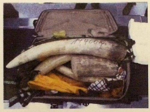 Almost 800kg of ivory was smuggled by 15 Vietnamese passengers flying from Angola. Photo: Hong Kong Customs.