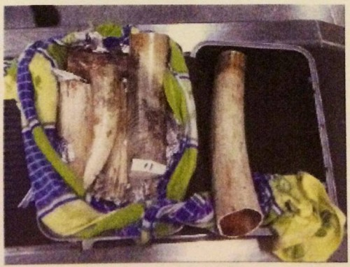 One of 32 bags stuffed with ivory intercepted at Hong Kong International Airport today. Photo: Hong Kong Customs