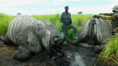 Elephants massacred from a helicopter attack in Garamba National Park, DRC. Photo courtesy of African Parks)