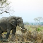 Elephant Poachers Penetrate South African Borders Again