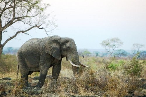 Rampant elephant poaching in neighbouring countries is spilling over South African borders. Photo courtesy of Conservation Action Trust