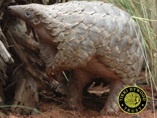 pangolin trade Archives - WORLD PANGOLIN DAY