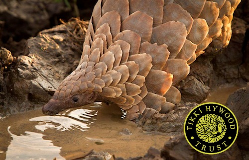All four African pangolin species -- the ground pangolin (Manis temminckii), giant ground pangolin (Manis gigantea), white-bellied pangolin (Phataginus tricuspid), black-bellied pangolin (Phataginus tetradactyla) -- have been moved from Least Concern to Vulnerable. PHOTO: Tikki Hywood Trust