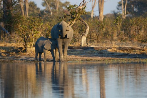 In April this year the U.S. Fish and Wildlife Service (Service) suspended imports of sport-hunted African elephant trophies taken in Tanzania and Zimbabwe for the calendar year of 2014. Photo courtesy of Conservation Action Trust