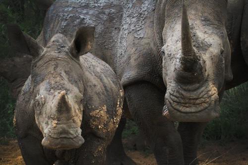 "Scientists are refuting claims that rhino horns can be ""infused"" with  toxins. Photo By Steve Evans via Wikimedia Commons"