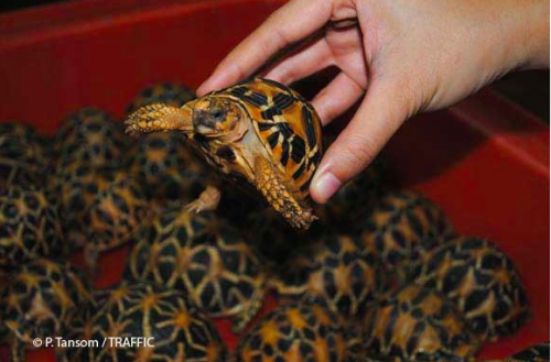 Thousands of smuggled tortoises and freshwater turtles have been seized at Suvarnabhumi International Airport in Bangkok. Photo: P. Tansom /TRAFFIC