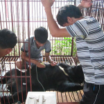 New Study Reveals Shocking Increase of Bear Bile Extraction 'Farms' in Lao PDR