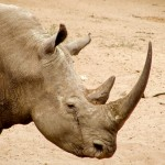Operation Crash: U.S. Indicts Groenewald Brothers for Rhino Horn Trafficking