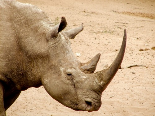 The trail of a notorious South African rhino horn trafficker has led to the United States. Photo: Karl Stromayer/USFWS