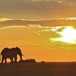 Natural Ruses Rule Out Culling for Elephants in Kruger National Park, South Africa