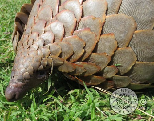 This year, PPNAT photographers used their work to showcase the plight of pangolins at the Montier-en-Der film festival, and will be displaying their pangolin conservation exhibition at further major events throughout Europe in coming years. PHOTO: Tikki Hywood Trust