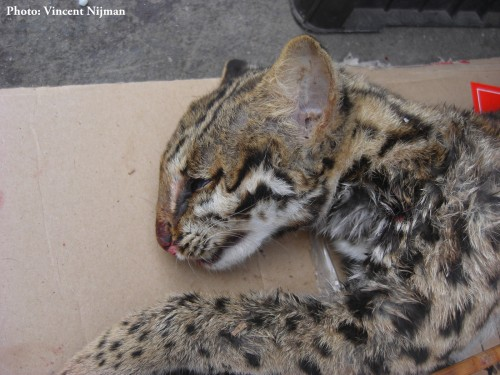 Freshly killed Leopard Cat for sale in the market of Mong La – 2014. PHOTO © Vincent Nijman