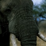 Environmentalists Object to $450 Million 'Good Governance' Aid to Tanzania, Citing Corruption, Ivory Trafficking Links