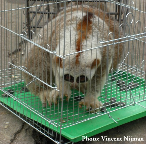 Bengal Slow Loris in Mong La market – 2014. Photo © Vincent Nijman