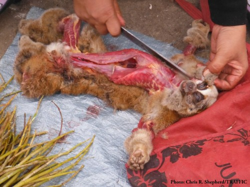 Freshly killed Bengal Slow Loris being skinned in the Mong La market – 2014 . Photo © Chris R. Shepherd / TRAFFIC