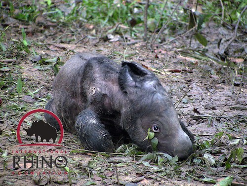Ratu's first calf, 'Andatu,' who was born at the Sumatran Rhino Sanctuary in 2012. Photo © International Rhino Foundation