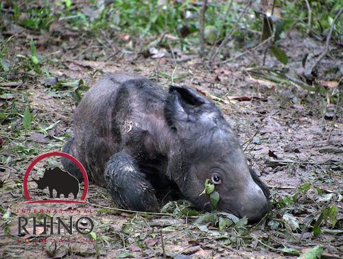 Critically Endangered Sumatran Rhino Pregnant With Second