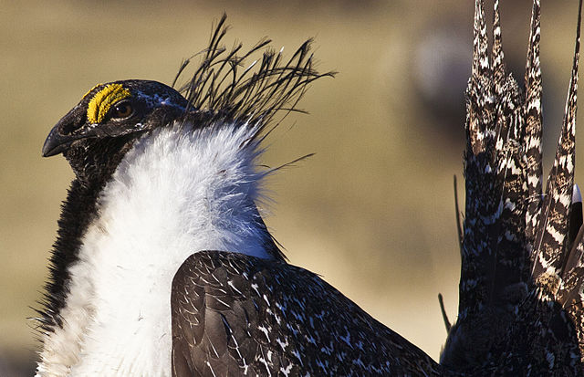 At the end of the day, there is one certain fact: Sage Grouse populations that once numbered in the millions are now in the hundreds of thousands. Photo by Bob Wick /By Bureau of Land Management via Wikimedia Commons