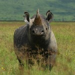 Wildlife Trade Experts Oppose Use of Synthetic Rhino Horn as Anti-Poaching Measure