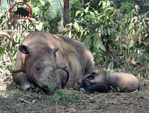Mother rhino Ratu with her first baby Andatu in 2012.  Photo © International Rhino Foundation