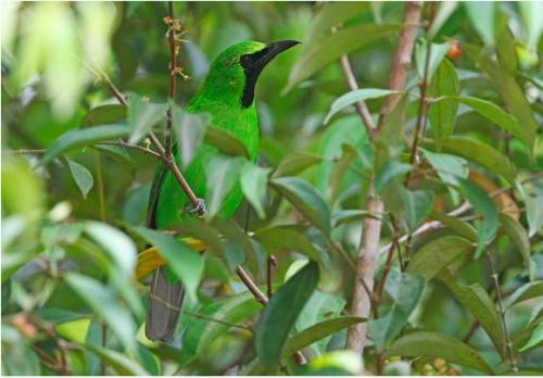 Greater Green Leafbird: the most numerous species in the seizure. Photo ©  James Eaton/Birdtour Asia