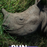 Join the 'Run for Rhinos' Event in Hanoi on December 13!