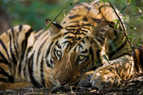 In 2007, at CITES COP14, a Decision was adopted essentially stating that tigers should not be bred for trade in their parts and derivatives, and that tiger farms should be phased out. Photo © (c) Elliott Neep / www.elliottneep.com