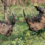 Rhino Poaching in South Africa Declining, But Still Too Soon to Celebrate
