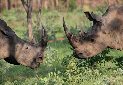 South Africa's so-called good news about rhino poaching is under scrutiny. Photo courtesy of Conservation Action Trust.