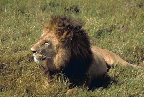 Is Bubye Valley Conservancy breeding fenced lions for canned hunts? Photo by Public Domain Images via Wikimedia Commons