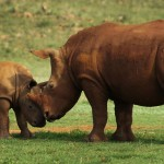 Rhino Hunting is Not Compatible with Conservation