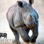 Confirmed: No Rhino Horn Trade Proposal from South Africa at CITES CoP17
