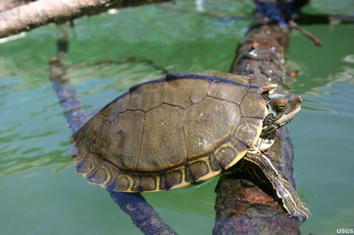 Pearl River Map Turtle (Graptemys pearlensis). Photo: Cris Hagen, University of Georgia, Savannah River Ecology Laboratory