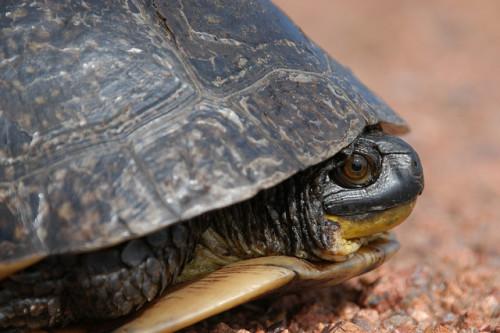 Blanding's turtle (Emydoidea blandingii). Photo: USFWS