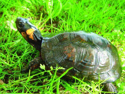 Bog turtle (Glyptemys muhlenbergii). Photo: USFWS