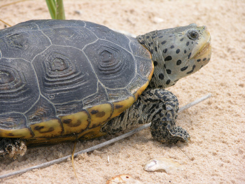Diamondback terrapin (Malaclemys terrapin).  Photo by Christina Mohrmann / Grand Bay NERR