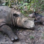 It's a Girl! Critically Endangered Sumatran Rhino Born at Sanctuary in Indonesia