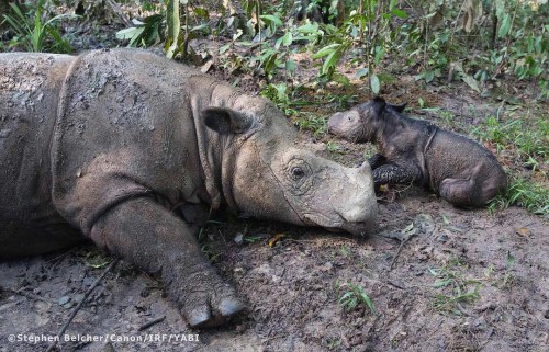 Sumatran rhino Ratu with her new baby girl. Photo via International Rhino Foundation