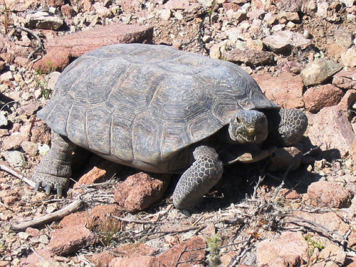 Mojave Desert Tortoise (Gopherus agassizii). Photo: Roy C Averill-Murray / USFWS